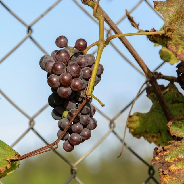 chain link fence vertical garden, spring hill fl